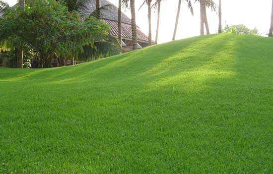 cỏ nhung Nhật